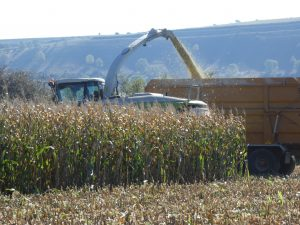 Maize being harvested