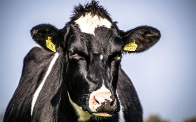 DAIRY FARMING – THE GOOD, THE BAD AND THE UGLY