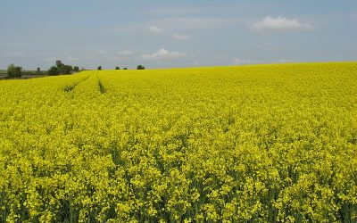 OILSEED RAPE IN THE UK – WHAT DOES THE FUTURE HOLD?