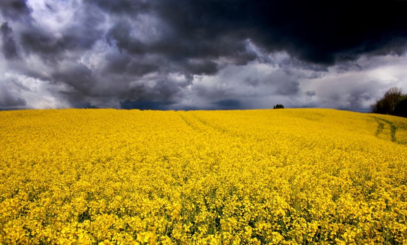 OILSEED RAPE PRICES TO RISE NEXT YEAR