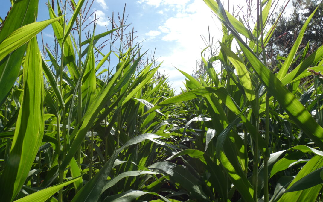 MARK WOODIN AND CHILTON HOME FARMS: A BRIGHT MAIZE CASE STUDY